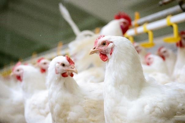 Egg Farming FAQ's - United Egg Producers