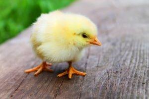 Handle Cute Chicks Carefully