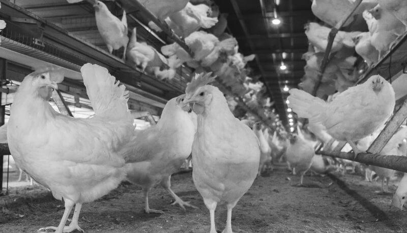 White-hens-CF-Website-dsc03505-2-1.png